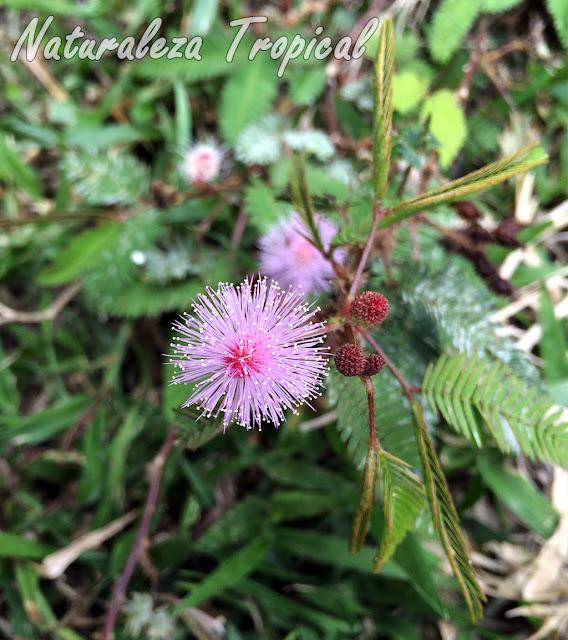 Otra fotografías de la planta Dormilona o Vergonzosa, Mimosa pudica