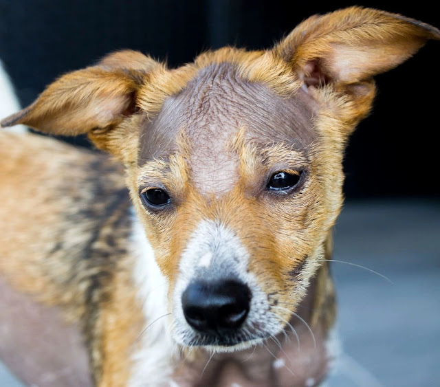 Causes of hair loss for dogs