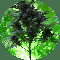 הורדה של חלקי הצמח התחתונים והקטנים יותר להוספה של אנרגיה לחלקים העליונים של הפרחים