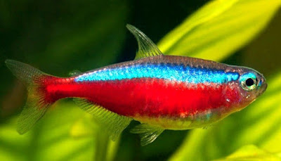 Ikan Cardinal Tetra