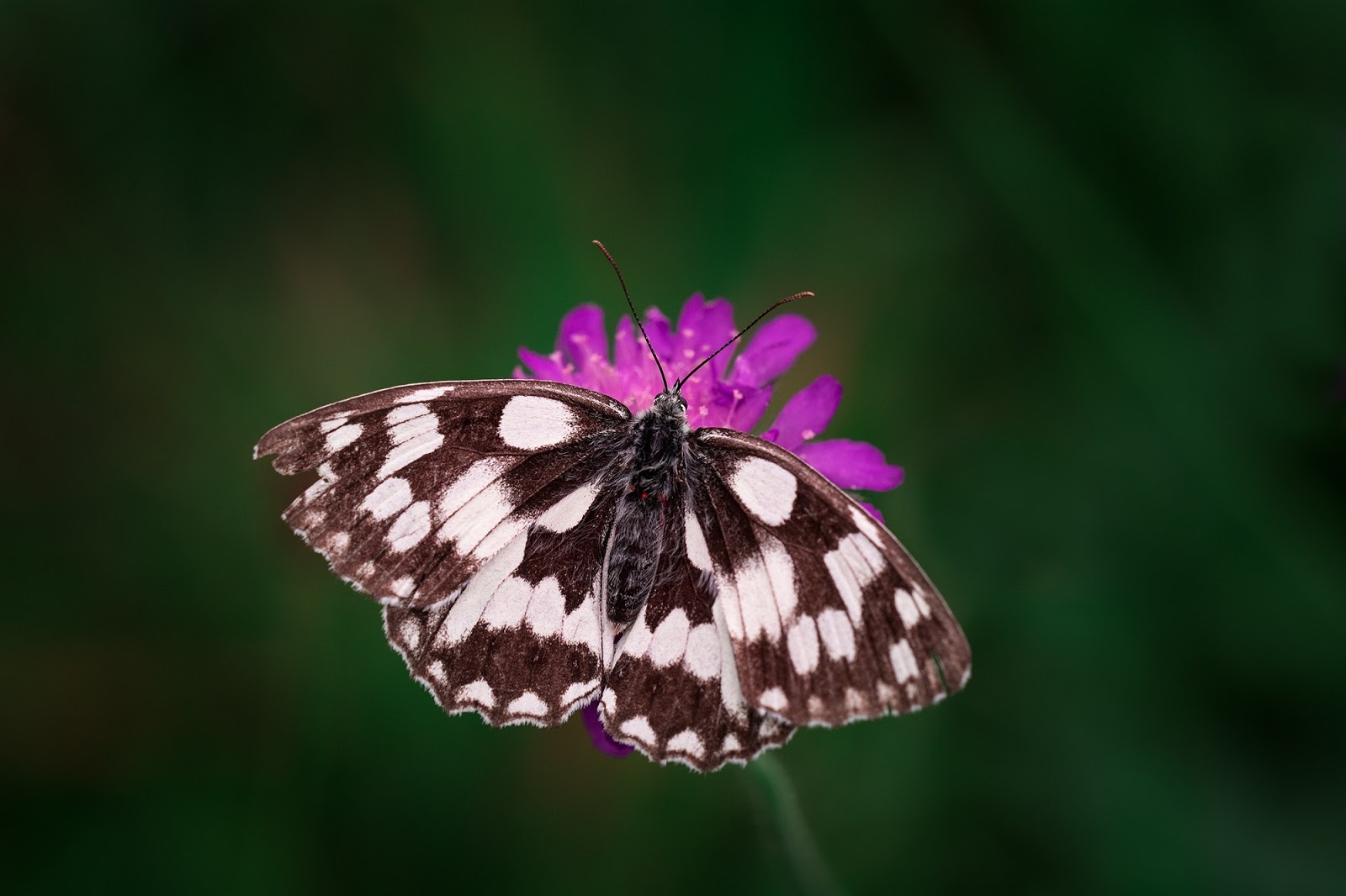 tilt-shift-photography-of-black-and-white-butterfly-images