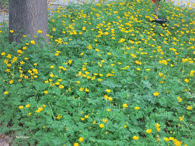 creeping buttercup, Ranunculus repens