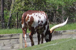 Ankole-Watusi At Toronto Zoo.