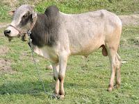 nbagr cattle breeds