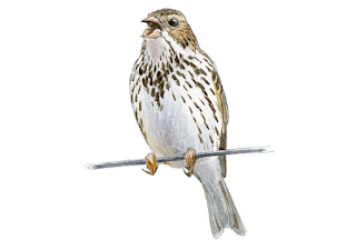 https://www.xeno-canto.org/sounds/uploaded/ZNCDXTUOFL/XC127306-Emberiza_calandra_Poland_Jarek_Matusiak_20130323-039.mp3