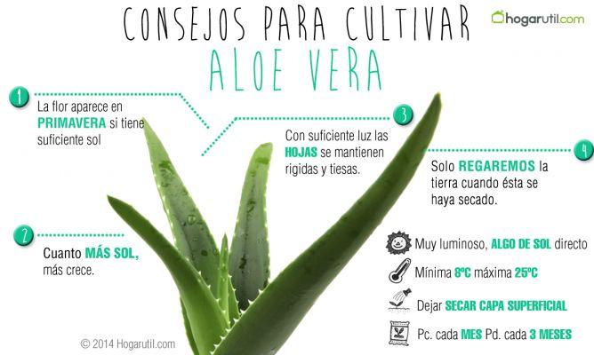 22 plantas medicinales que podemos cultivar en casa - Cuidados planta aloe vera casa ...