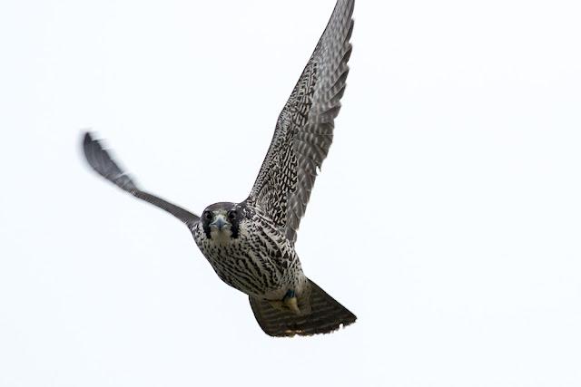 Peregrine Falcon close to me