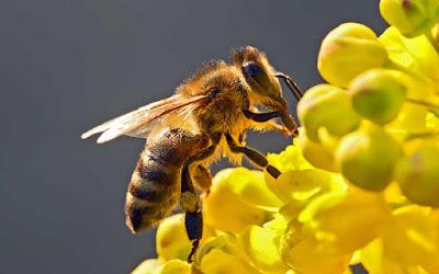 Las abejas son la especie más importante del planeta-TuParadaDigital