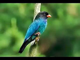 Jenis Burung Tengkek Buto Yang Cocok Dijadikan Masteran