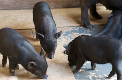 Ark Avilon Zoo - Bornean Pygmy Pigs