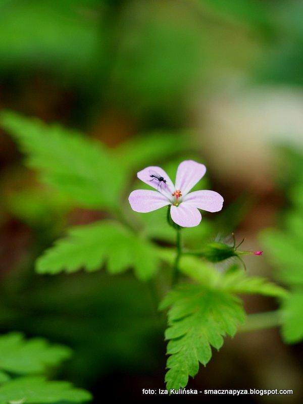 liliowe kwiatki, zapach, rosliny lesne, roslinnosc, flora, puszcza mazowiecka