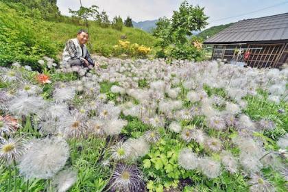 キンポウゲ科の多年草オキナグサ