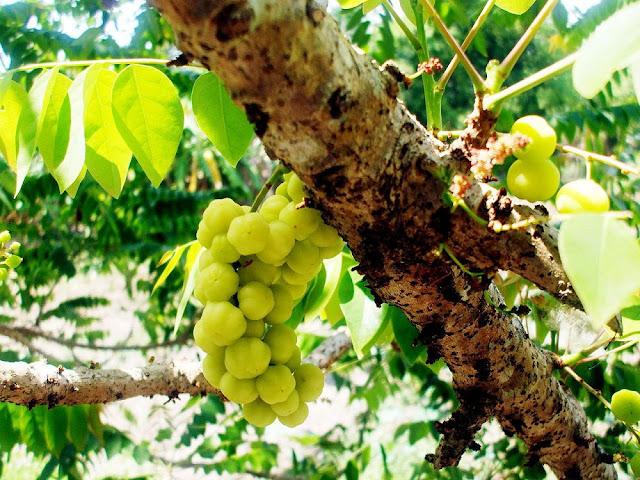 Quả Tầm Duột - Phyllanthus distichus - Nguyên liệu làm thuốc Chữa Tê Thấp và Đau Nhức