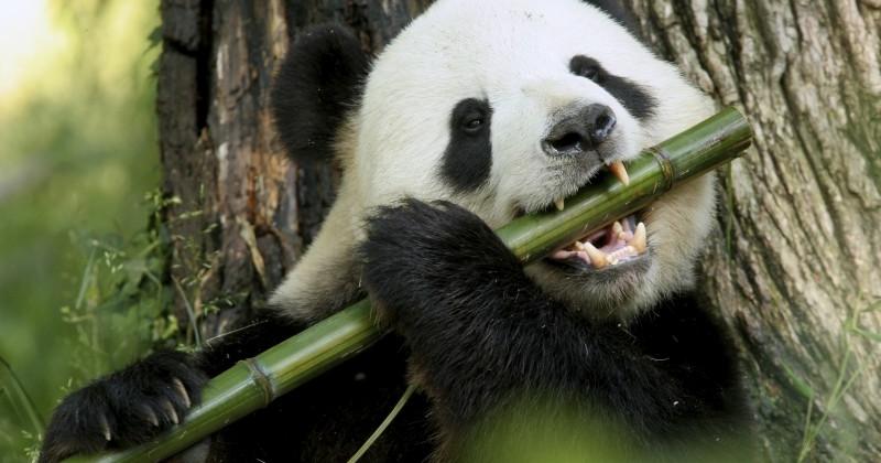 Imagenes Osos Panda: Foto De Oso Panda Comiendo Bambu [6-5-17]