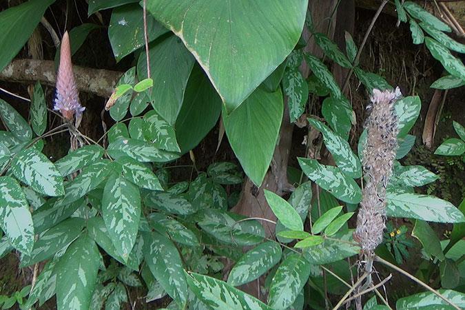 Dlium Asian foxtail (Uraria crinita)