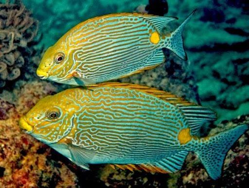 Jenis-jenis Ikan Baronang