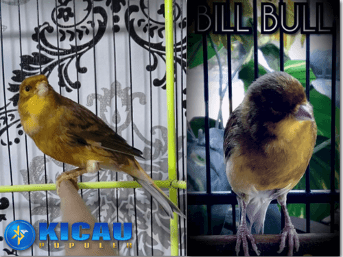 Cara Merawat Burung Kenari ala Bill Bull