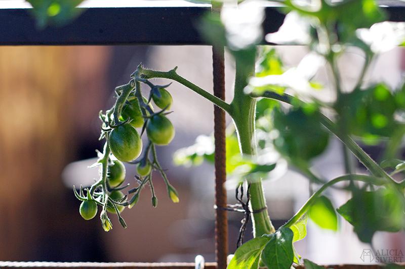 aliciasivert alicia sivert sivertsson odla på balkong balkongodling odling trädgård inspiration inreda inredning kruka krukor det norske hageselskap hage på balkongen tomat sweet baby körsbärstomat cocktailtomat