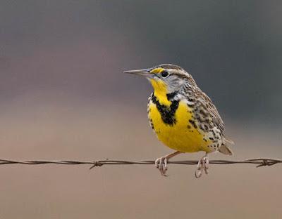 Photo of Western Meadowlark on barbed wire fence