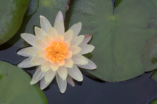 A beautiful water lily from a pond at the Hill Country Water Gardens in Cedar Park, Texas