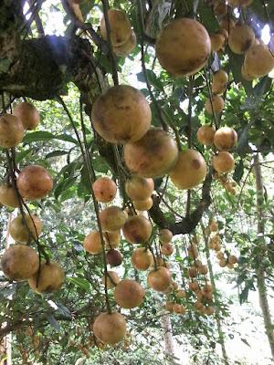 buah-menteng-purwakarta