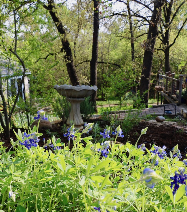 Backyard Bluebonnets with a wooded area of trees in the background