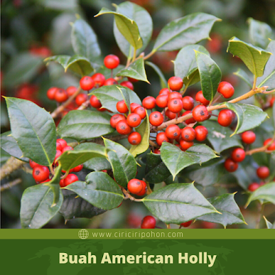 Ciri Ciri Buah American Holly