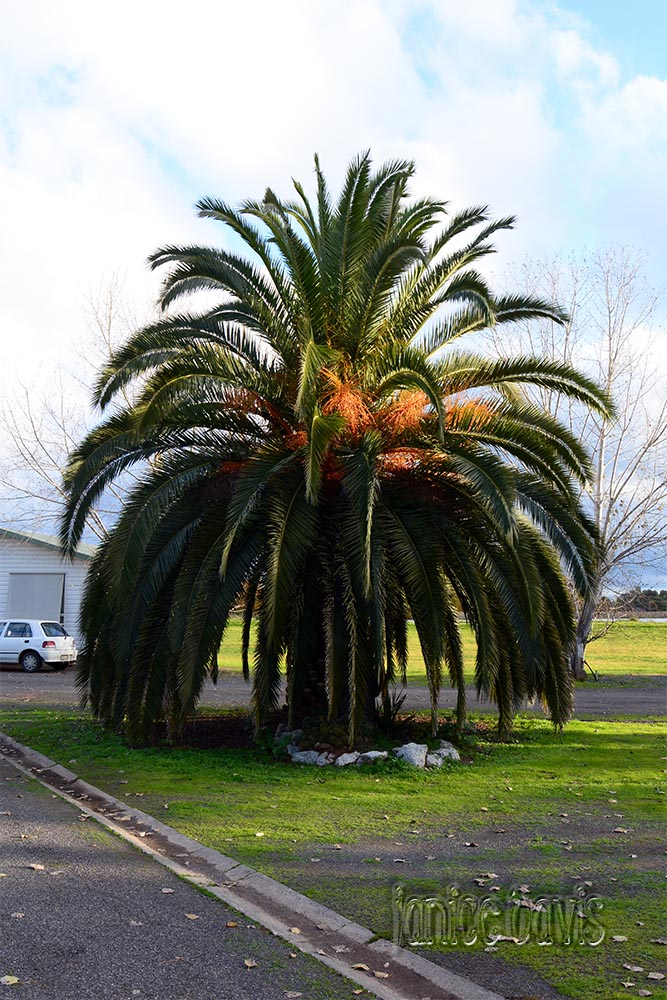 Dates tree in Sydney
