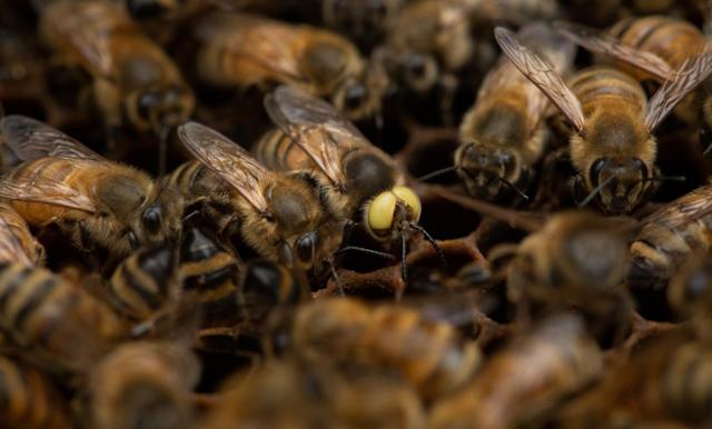 Αυτή η σπάνια, μεταλλαγμένη μέλισσα είναι τόσο αρσενική όσο και θηλυκή