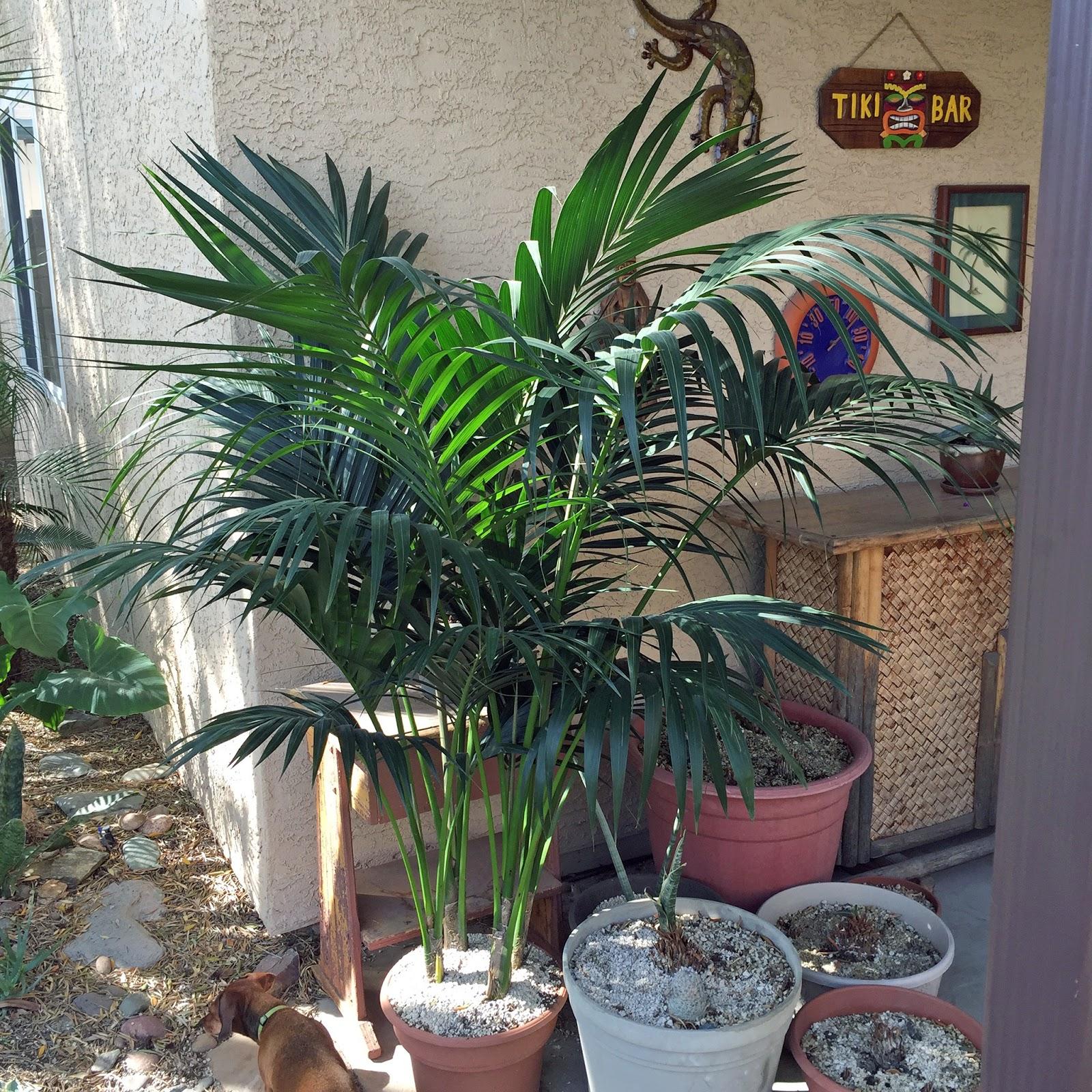 Brad's Tropical Paradise: Growing a Kentia palm outdoors ...