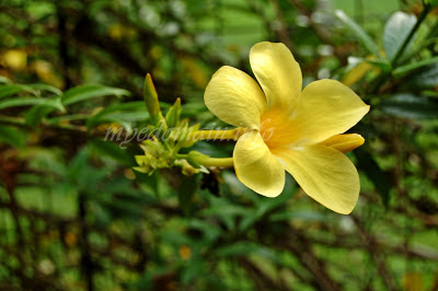 Simplymarrimye's Yellow is the Color of MIND and Intellect / Golden Trumpet (Allamanda Cathartica) - image 3
