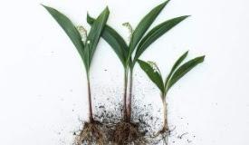 Daftar Harga Bunga Lily (Bakung) Terbaru 2018 - 2019 adeb5e51f0
