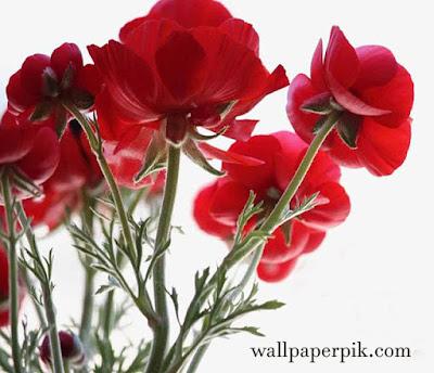 lily rose flower wallpaper hdlily rose flower wallpaper hd