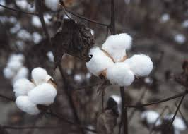 Cotton fundamental and technical updates.