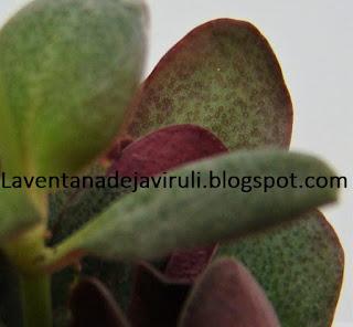 hojas-crassula-multicava