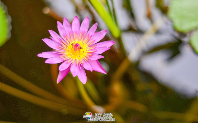 Lotus flower blooming in the pond of The Banjaran