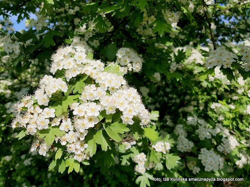 kwiaty glogu, roslina lecznicza, pachnace, kwiatki, krzew, wiosna, kwitnie, za miastem