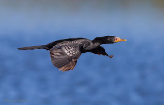 Cormorant in Flight: Canon EOS 6D / 400mm Lens
