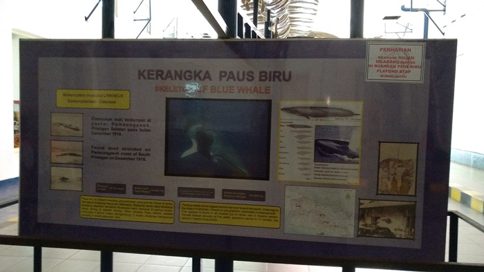 Kerangka Paus Biru Raksasa di Museum Zoologi Kebun Raya