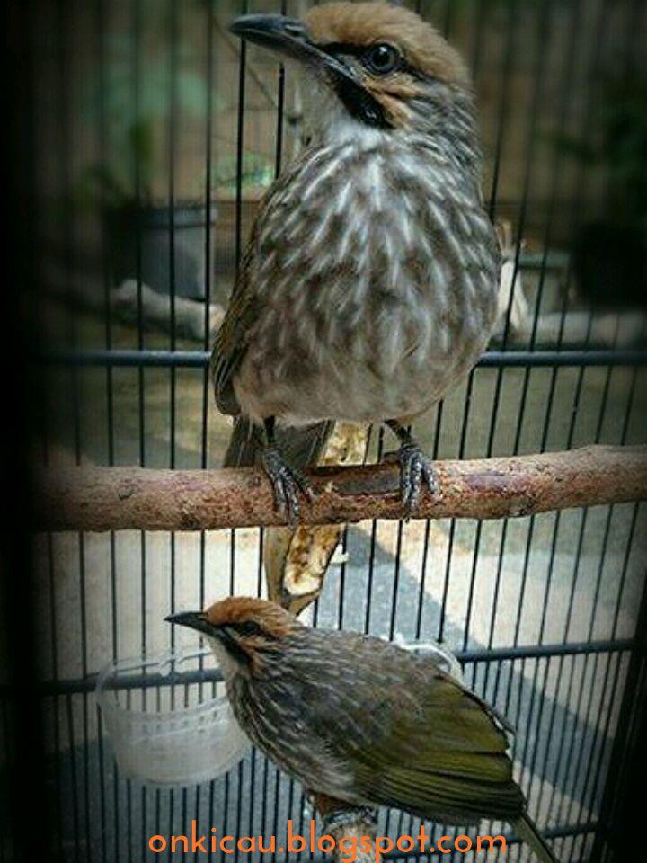 Tips Perawatan Anakan Burung Cucak Rowo Agar Sehat Dan Cepat Besar On Kicau