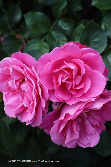 Three pink roses on a rose bush.