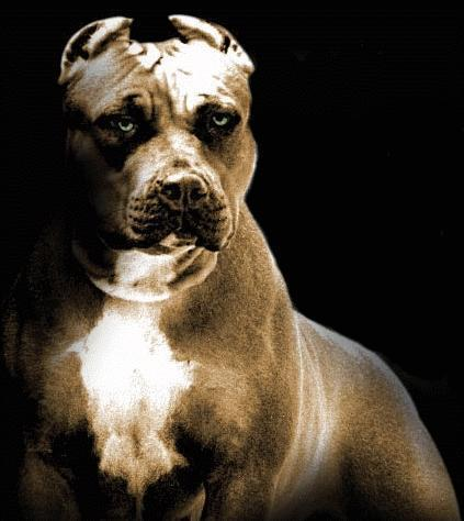 Pitbull vs  leopard  Who wins? - Bodybuilding com Forums