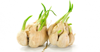 Not Throw Away Sprouted Garlic