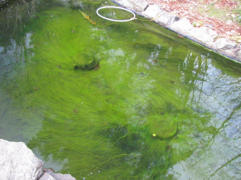 Cara Mengatasi Air Kolam Berwarna Hijau