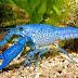 Procambarus Alleni (Florida Lobster)