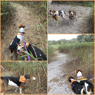 Club Lake Plantation in Central Florida has a dog-friendly corn maze to get lost in.