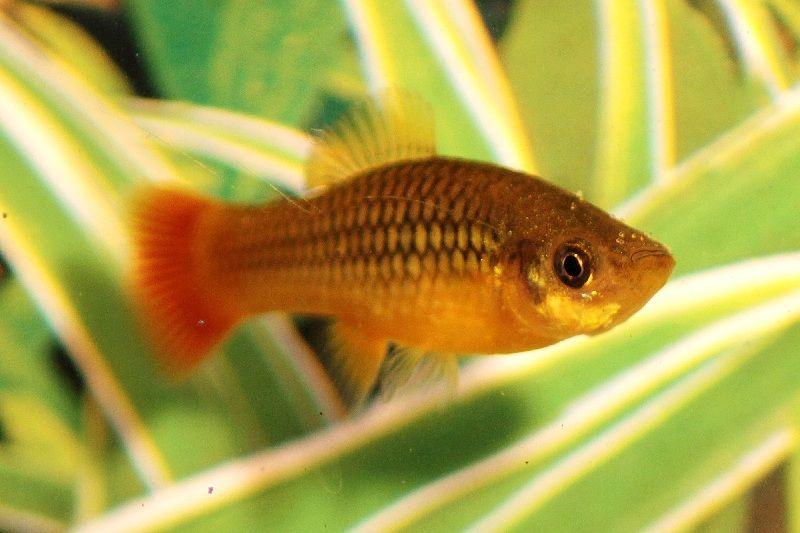 Gambar Ikan Platy Variatus (Sunset Platy, Platy Variatus)