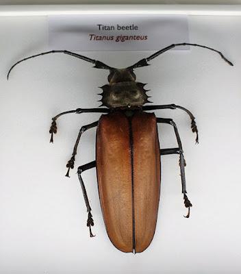 Zdjęcie największego chrząszcza
