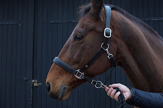 A bay horse's face wearing a leather head collar with a person holding him