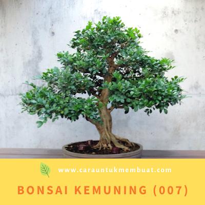 Bonsai Kemuning (007)